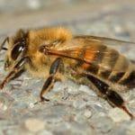 ADULT MASON BEE