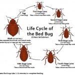 life_cycle_bed_bug_small